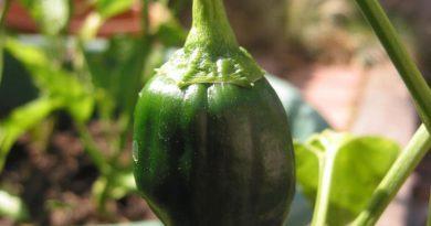 Les vertus du piment poblano pour la santé