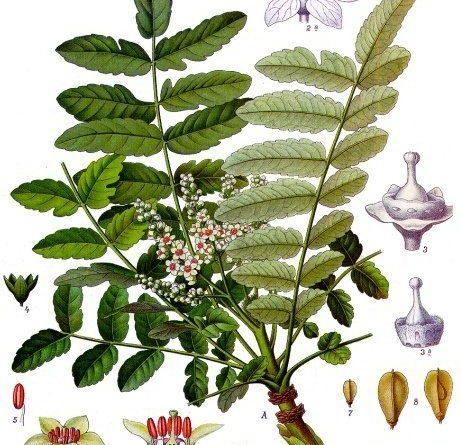 Les bienfaits du boswellia pour la santé
