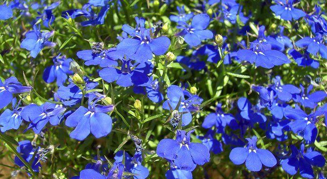 lobelia bleu