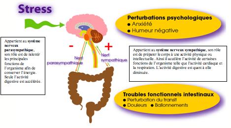 axe cerveau intestin 2