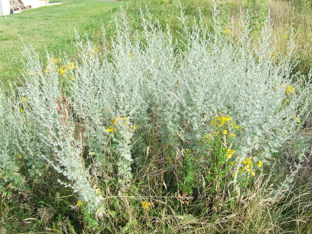 Absinthe - Artemisia absinthium: vertus thérapeutiques - Therapeutes magazine