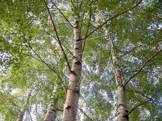 11 rem des base de bouleau betula alba therapeutes magazine - Feuille de bouleau photo ...