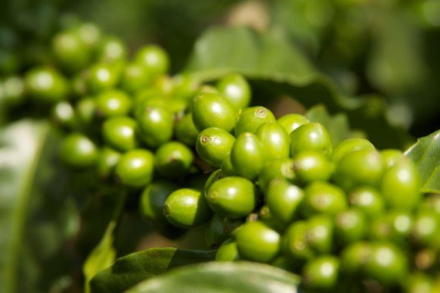 Extrait de grains de caf verts est ce que a marche for Responsable des espaces verts