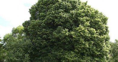 tilleul a petites feuilles