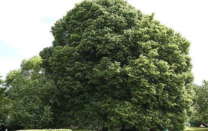 Tilleul petites feuilles propri t s et utilisation - Tilleul a grandes feuilles ...