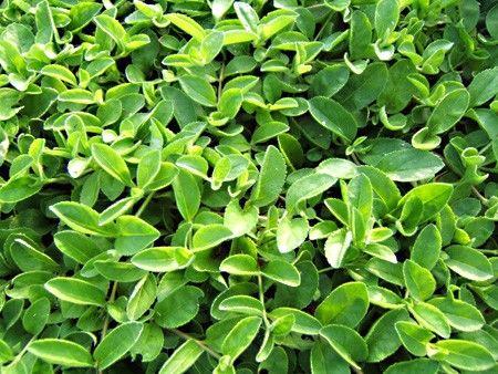 Véronique: Plante médicinale stomachique, diurétique ...