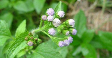 ageratum-conyzoides
