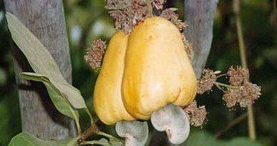 anacardium-orientalis