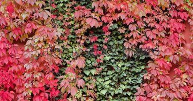 bignonia-quinquefolia