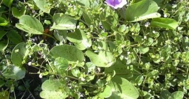 Boerhavia Hirsuta