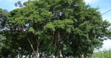 Caesalpinia Ferrea