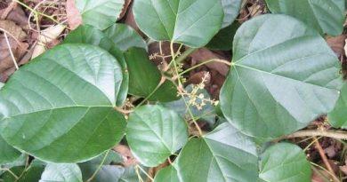 Chondodendron tomentosum