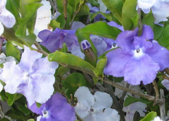 Franciscea Uniflora