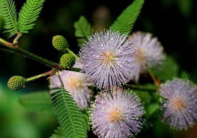 mimosa pudica plante m dicinale purgative m tique vermifuge therapeutes magazine. Black Bedroom Furniture Sets. Home Design Ideas