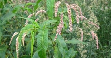 Polygonum Acre