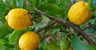 citrus-medica