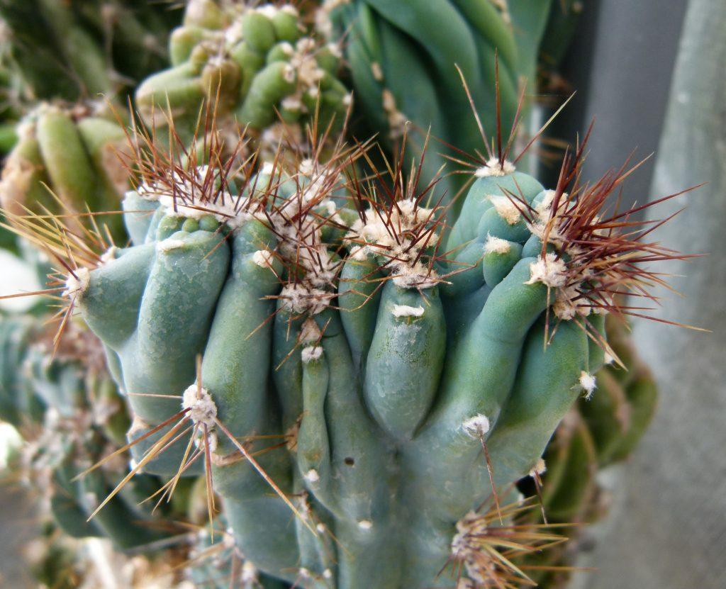 cereus-peruvianus