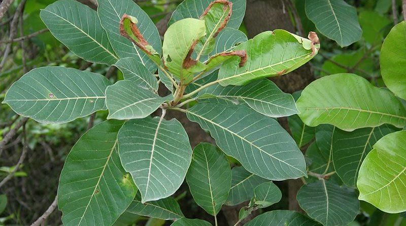 Madhuca indica