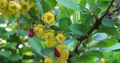 bienfaits berberis