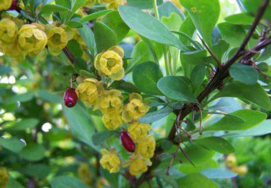 6 Bienfaits du berberis pour votre santé: une plante incroyable !
