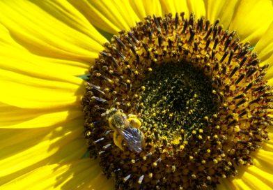 Pollen: Comment le consommer ? Quelles indications ?(pollen frais)