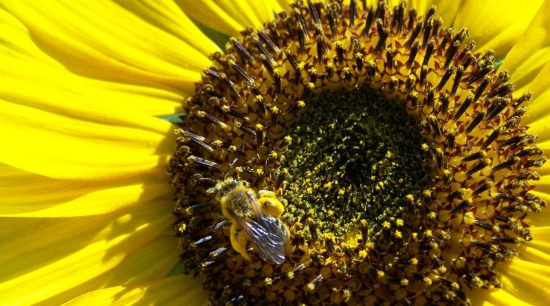 pollen comment le consommer