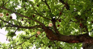 arbre de neem