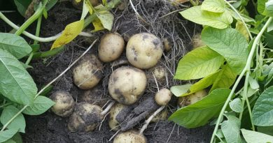 fécule de pomme de terre