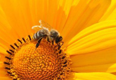 Le pollen, le super aliment des abeilles