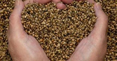 graines de chanvre